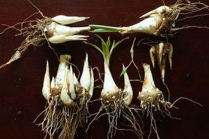 پرورش و تکثیر گل مریم از طریق سوخ