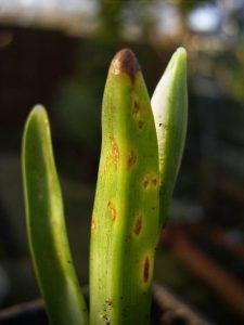 بیماری گل برفی