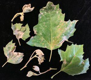 بیماری گیاه سیسوس