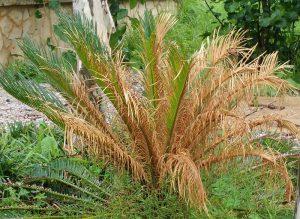 بیماری گیاه سیکاس