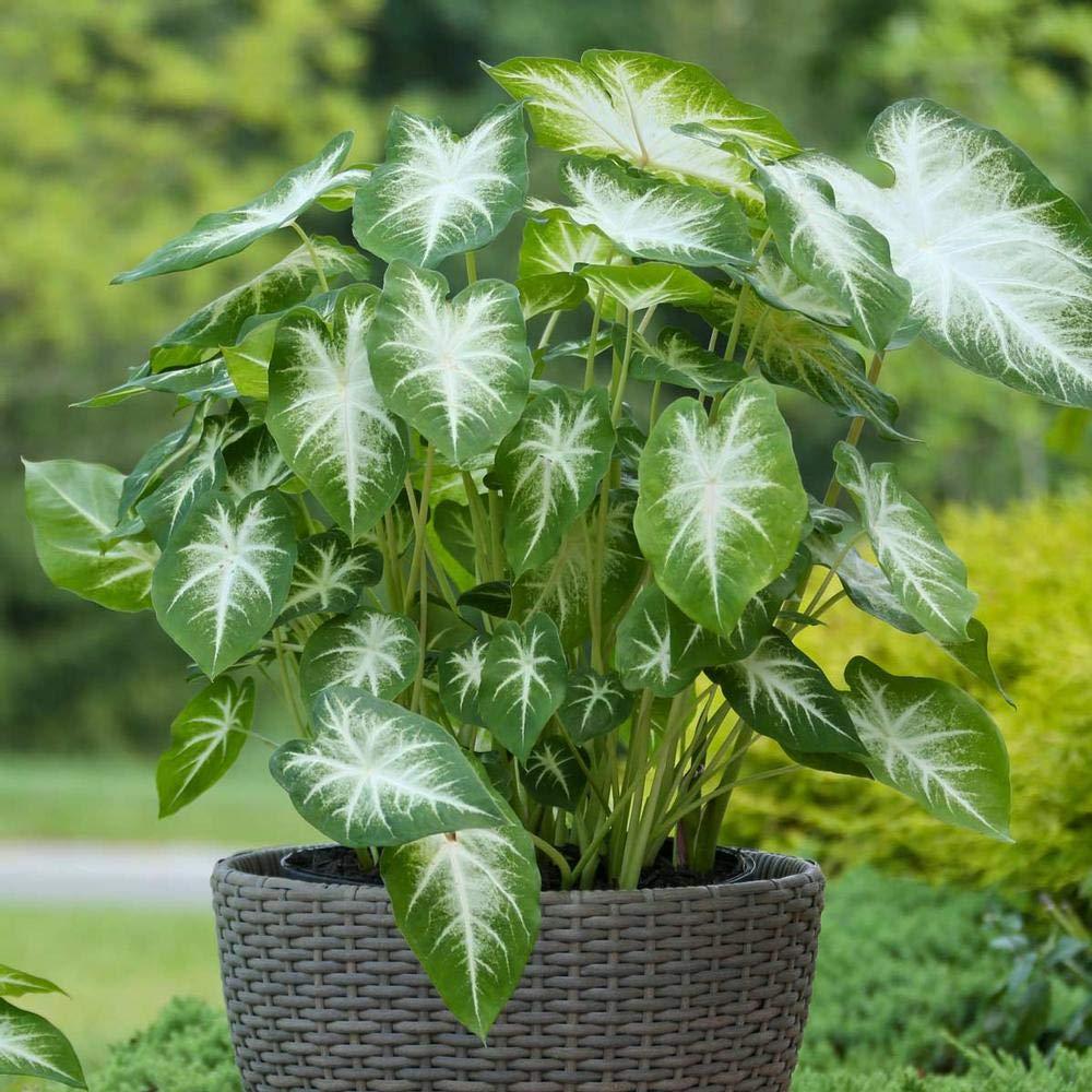گیاه کالادیوم