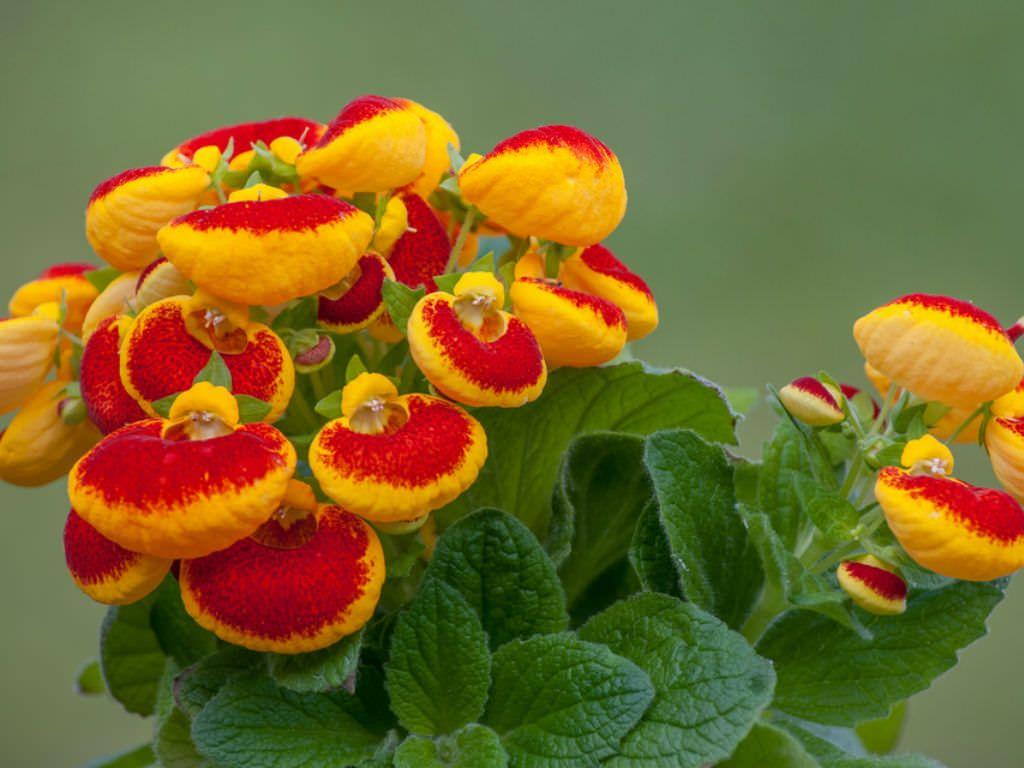 گل گوشواره ای