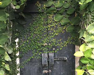 گیاه فیکوس
