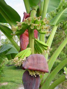 خوشه درخت موز