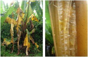 آفات و بیماری های درخت موز