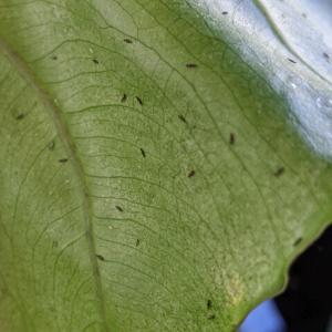آفت گیاه آلوکازیا