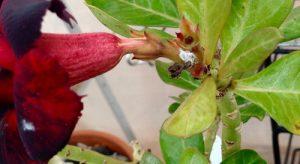 بیماری گل آدنیوم
