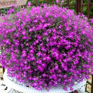 گل لوبلیا
