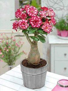 گل آنیوم