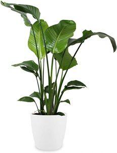 گیاه آلوکازیا