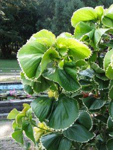 گیاه آکالیف