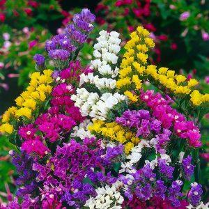 گل استاتیس