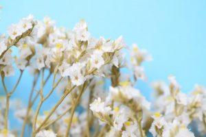 گل استاتیس سفید