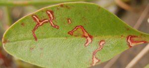آفات و بیماری های گل استاتیس
