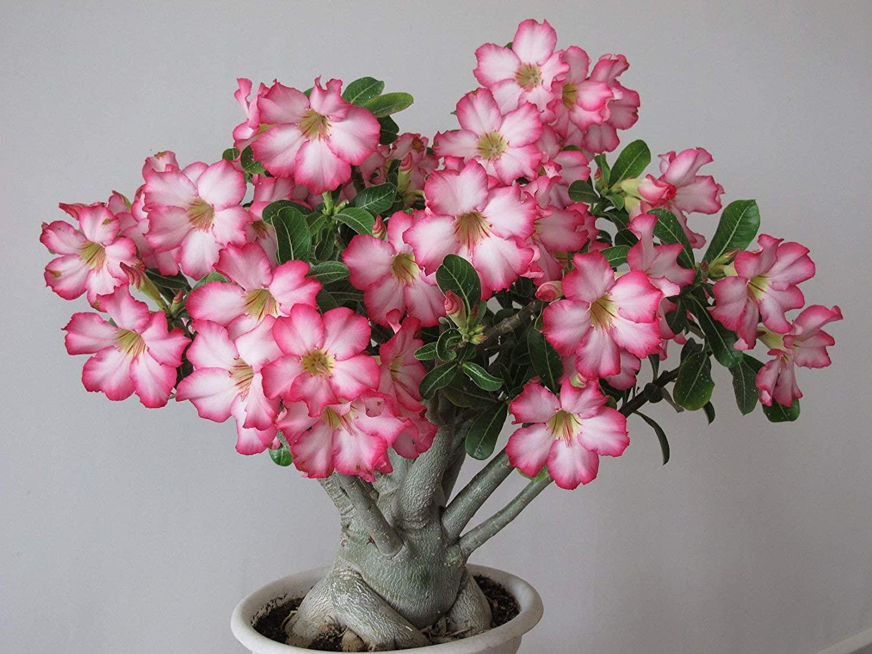 گل آدنیوم