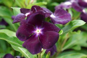 گل پریوش
