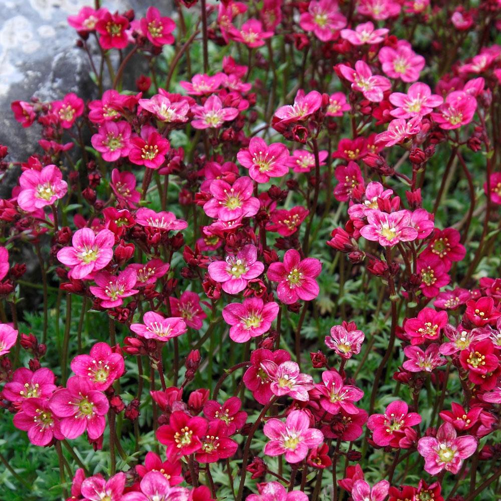 گل ساکسیفراز