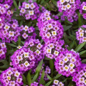 گل عسل