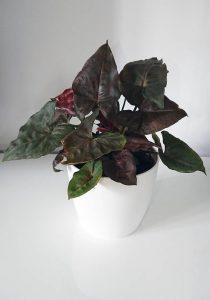 گل سینگونیوم